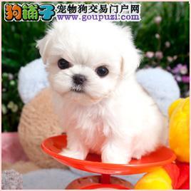 高品质的郑州茶杯犬找爸爸妈妈品质一流三包终身协议