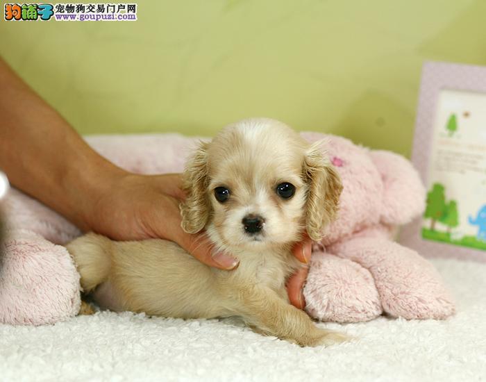 家养纯种的英国可卡幼犬宝宝出售有血统纯正可上门看狗
