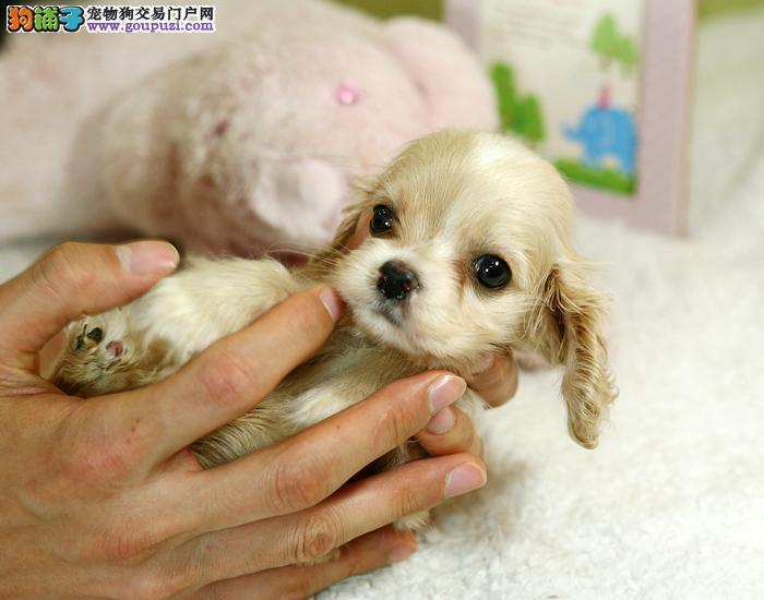 纯洲可卡幼犬宝宝 可爱健康 剖量保证 欢鹰选购
