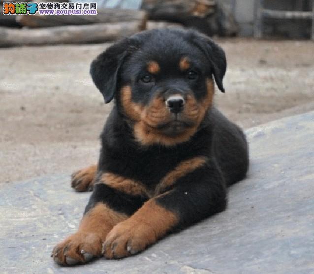 纯种罗威那犬 哪里有卖罗威那犬狗场直销
