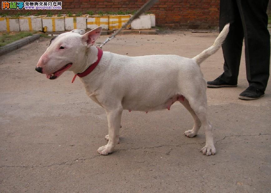 精品赛级牛头梗、真实照片保纯保质、提供养狗指导