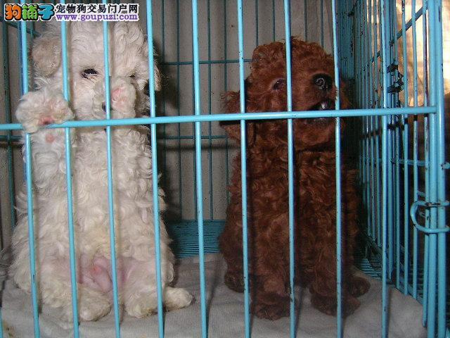 狗场繁殖培育直销高品质的泰迪宝 颜色齐全 包纯包健康