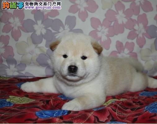 日本柴犬出售 幼犬柴犬健康 纯种放心领回家