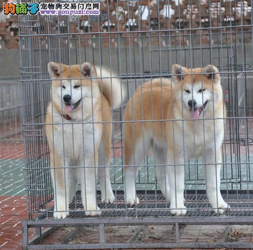 犬业出售 实拍秋田幼犬 实体狗场 假一赔十