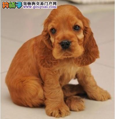 质保出售高品质可卡幼犬 三年质保 协议链接保证