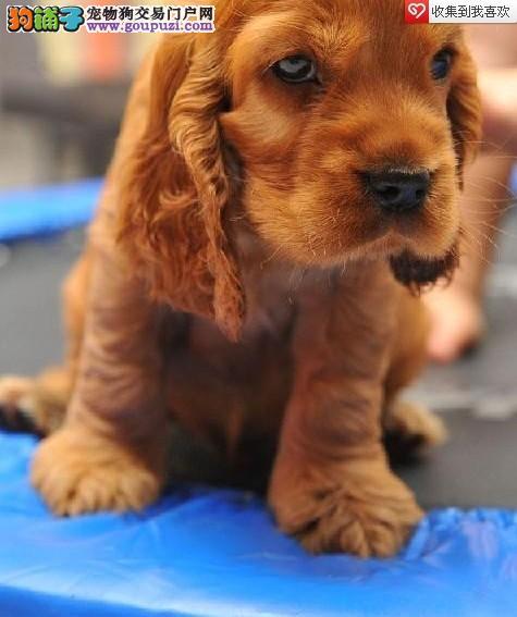 长沙可卡幼犬健康纯种的多少钱一只