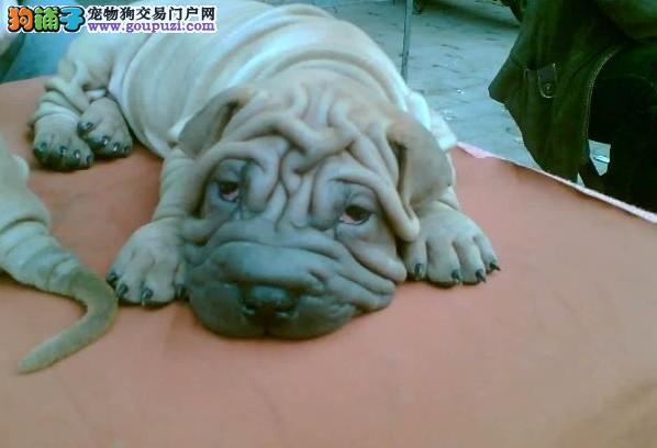 专业正规犬舍热卖优秀武汉沙皮狗质保协议疫苗驱虫齐全