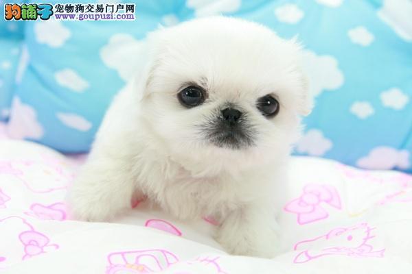 专业正规犬舍热卖优秀郑州京巴可直接微信视频挑选