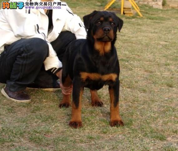 成都自家专业繁殖的纯种罗威纳犬