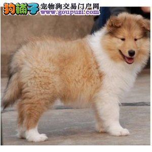 专业繁殖毛量好血统纯赛级苏格兰幼犬保健康品相好