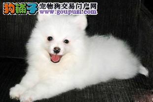 顶级优秀的纯种银狐犬宜宾热卖中签署质保合同