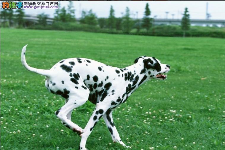 国际注册犬舍 出售极品赛级斑点狗幼犬期待您的光临