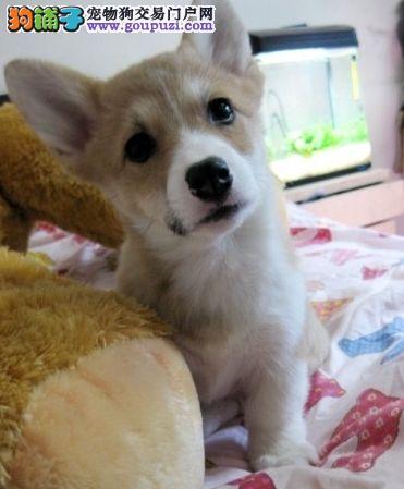 出售纯种健康的兰州柯基幼犬签署质保合同