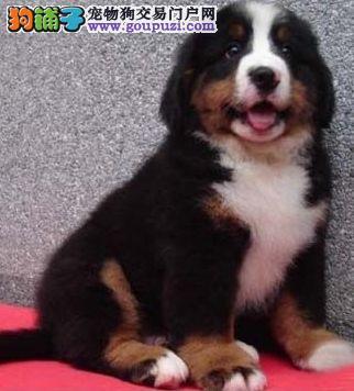顶级优秀的纯种伯恩山武汉热卖中微信看狗真实照片包纯
