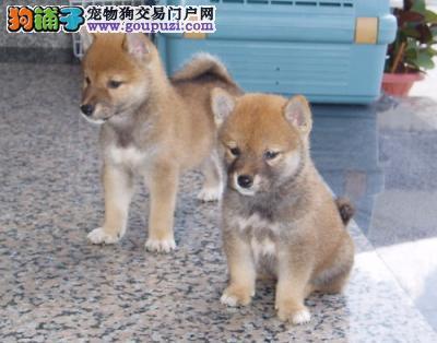 纯种可爱柴犬幼犬出售健康质保3个月可看狗父母