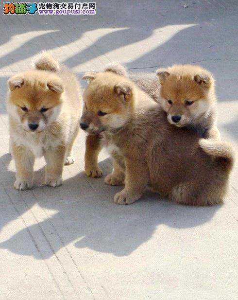 出售多只优秀的柴犬贵阳可上门价格美丽品质优良