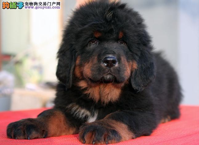 藏獒 卢湾/优秀藏獒,大狮子头藏獒,威猛神兽,5千起销[两个月公母全有]