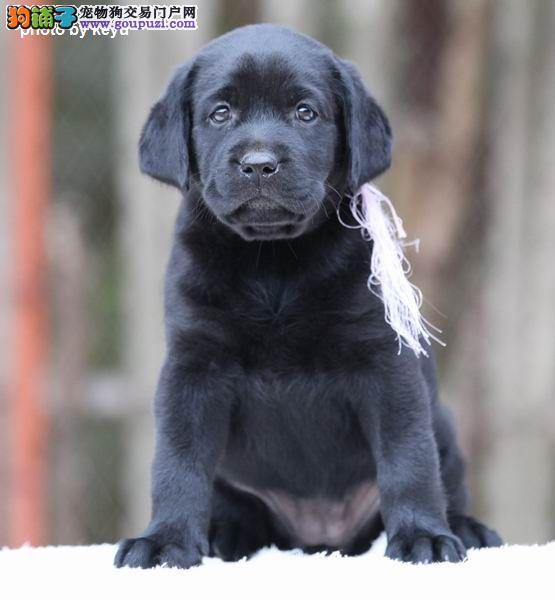北京顶尖犬业专业繁殖拉布拉多,拉布拉多多少钱?