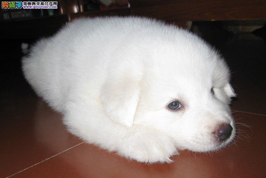 大白熊 纯种大白熊 大白熊幼犬火热出售中 顽皮宠物