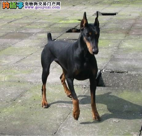 自家养殖场直销 现有数十只种杜宾犬 欢迎上门购买