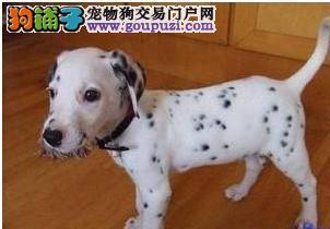 国际注册犬舍 出售极品赛级斑点狗幼犬期待您的咨询