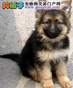 福州哪里有卖德牧包健康福州哪家德牧幼犬最有保障