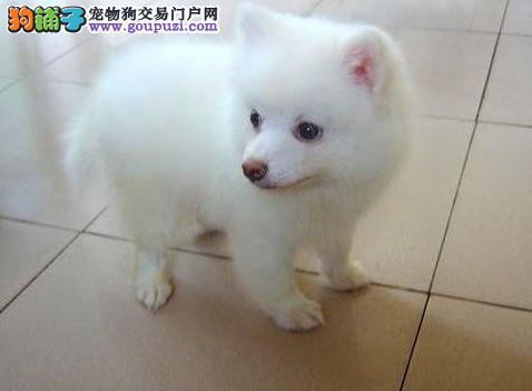 出售精品银狐犬,真实照片视频挑选,购犬可签协议