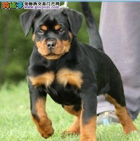 出售纯种罗威纳幼犬 个性沉稳可签订质保协议