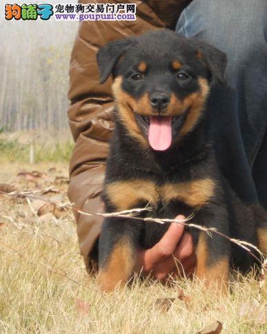 精品罗威纳庭院养殖场出售两个月罗威纳幼犬