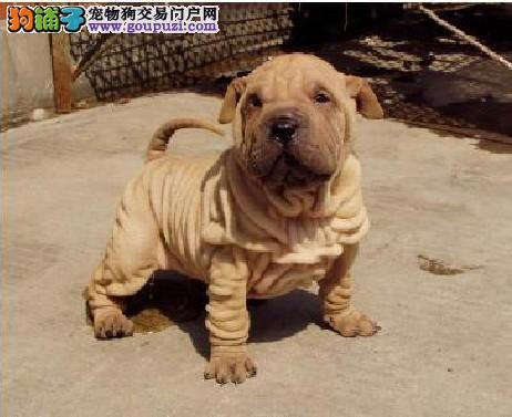 沙皮狗宝宝热销中、专业繁殖包质量、三包终生协议