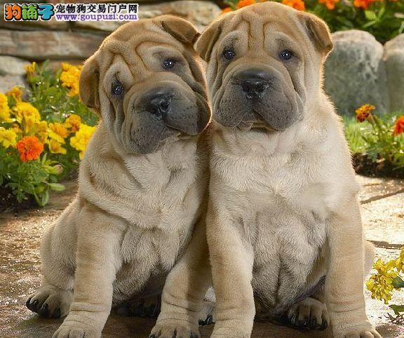 高端沙皮狗幼犬,纯度好100%健康,签订活体协议