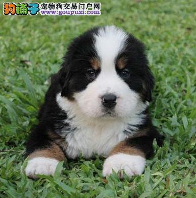 热销多只优秀的潍坊纯种伯恩山幼犬签协议上门选