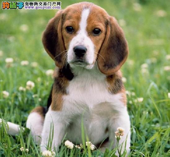 多种颜色的赛级比格犬幼犬寻找主人CKU认证绝对信誉保障