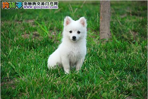 银狐犬 不以价格惊天下 但以品质惊世人品质血统售后均有保障