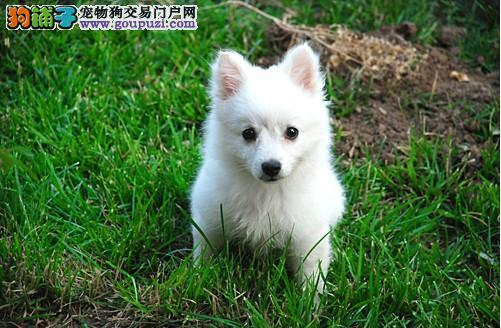 上饶本地出售高品质银狐犬宝宝终身质保终身护养指导