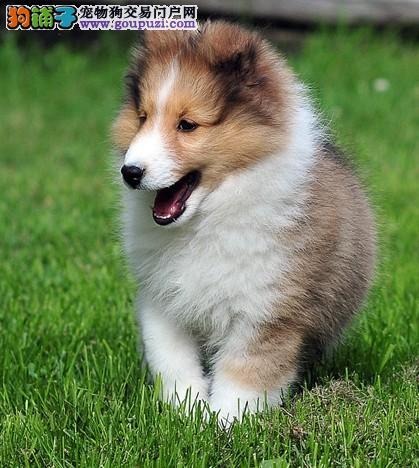 自家养的狗狗生的小宝宝纯种苏格兰牧羊犬出售