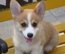 出售柯基幼犬 纯种健康 品质终身质保,本市免费送货