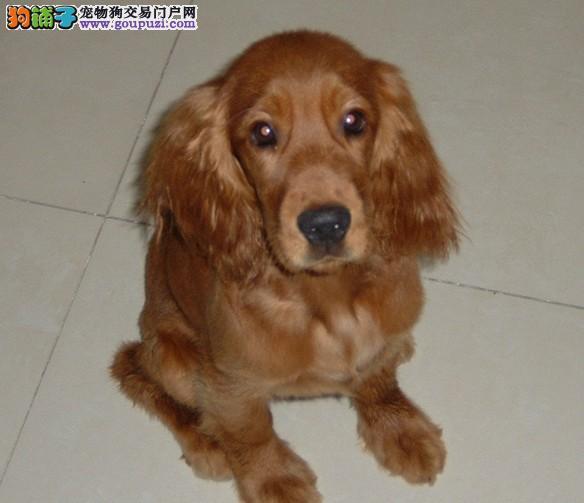 可卡那个宠物市场狗狗最便宜