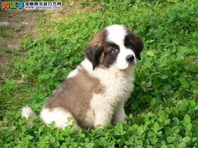 圣伯纳犬繁殖基地现售纯种圣伯纳幼犬 健康保障