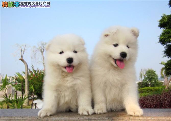 犬舍直销品种纯正健康萨摩耶同城免费送货上门