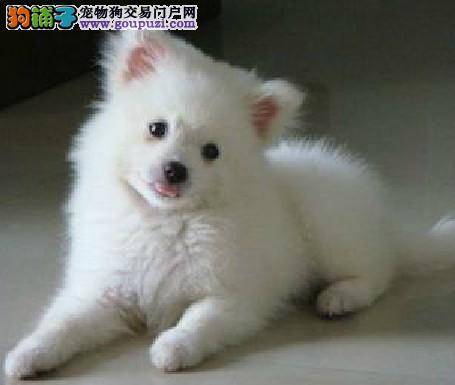 自家繁殖的纯著狐犬找主人赠送全套宠物用品
