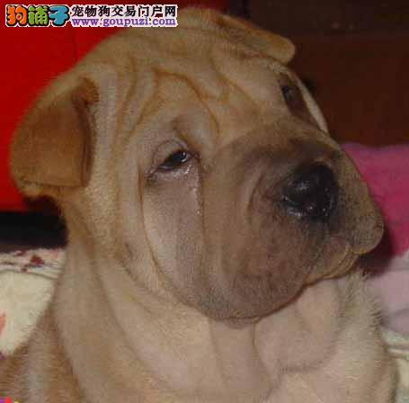 极品沙皮狗幼犬 精心繁育品质优良 质保健康90天