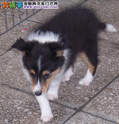 直销喜乐蒂幼犬 精心繁育品质优良 购犬可签协议