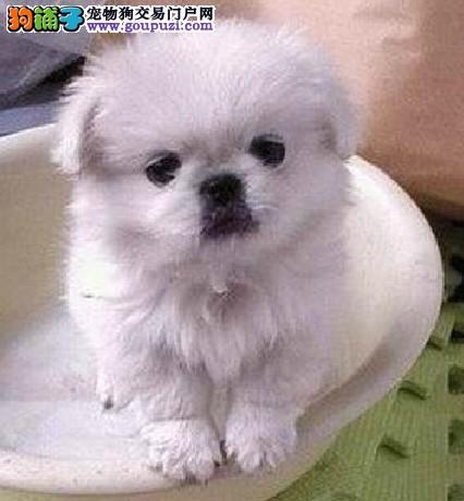 实体店低价促销赛级京巴幼犬保障品质售后
