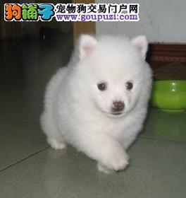 100%纯种健康的南昌银狐犬出售品质优良诚信为本