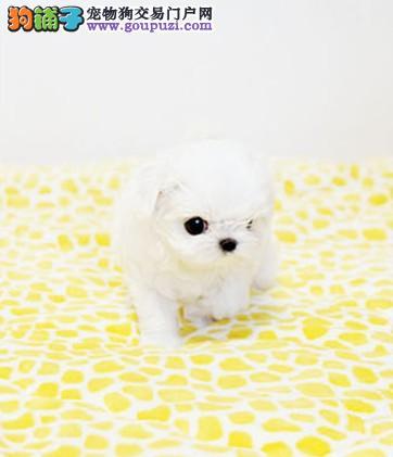 娇小 迷人 高贵的马尔济斯幼犬 保纯种保健康