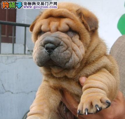 廊坊CKU认证犬舍出售高品质沙皮狗价格美丽非诚勿扰