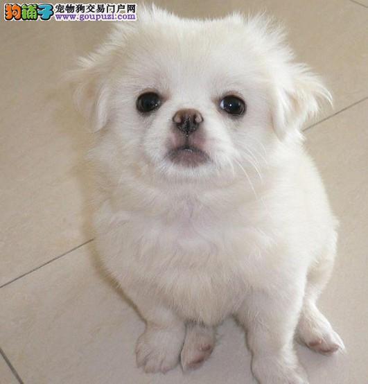 专业的京巴犬舍终身保健康优惠出售中狗贩子勿扰