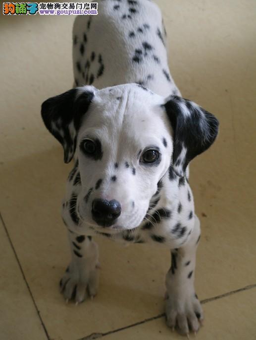 出售斑点狗幼犬、疫苗驱虫已做、可签保障协议