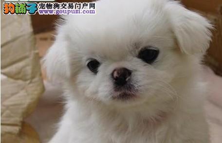 赛级京巴幼犬、品质极佳品相超好、签订正规合同